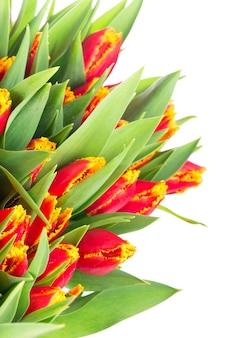Großer strauß roter tulpen auf weißem hintergrund