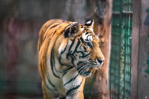 Großer tiger, der auf einem feld geht