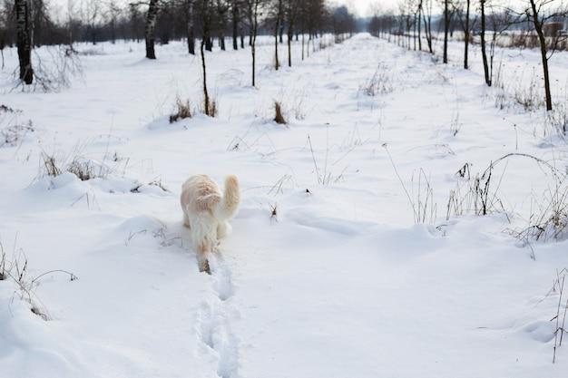 Großer weißer labrador golden retriever hund in winterlandschaft läuft im schnee