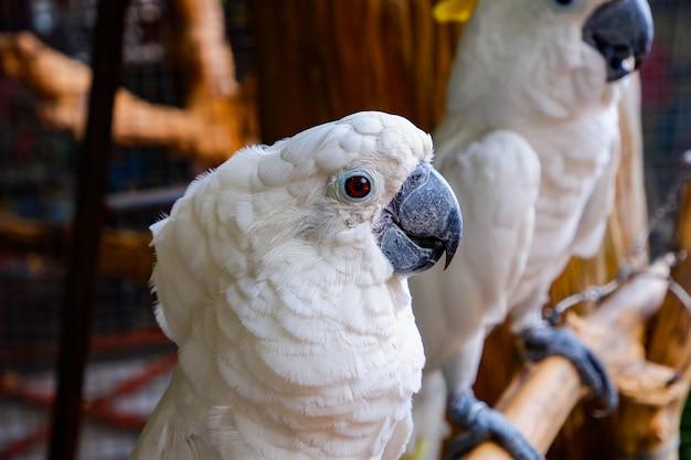 Großer weißer papagei des kakadus