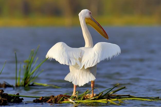 Großer weißer pelikan, der über den see fliegt, kenia, afrika