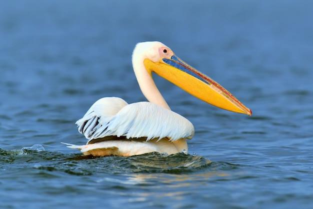 Großer weißer pelikan, der über den see in der savanne fliegt