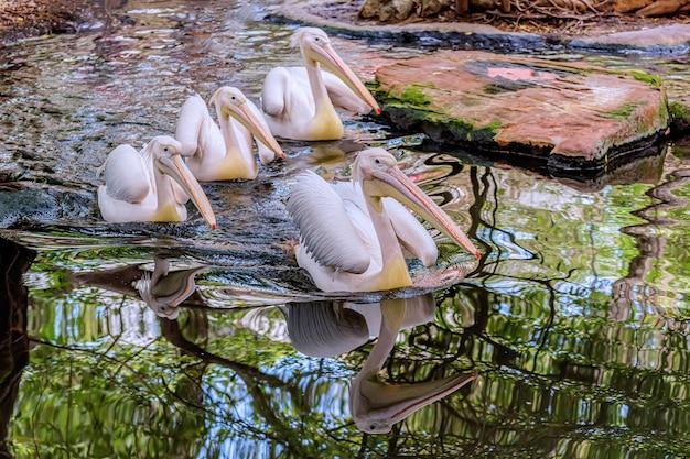 Großer weißer pelikan im teich