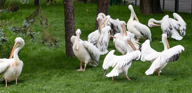 Großer weißer pelikan, pelecanus onocrotalus, auch als östlicher weißer pelikan bekannt