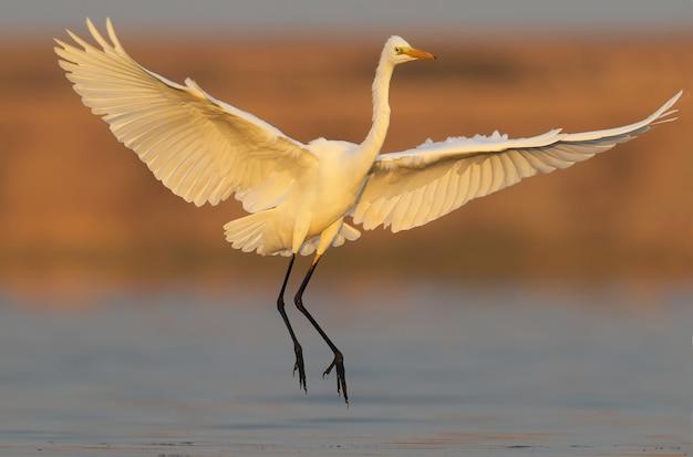 Großer weißer reiher im erstaunlichen weichen morgenlicht. großer weißer reiher, der am frühen morgen auf dem wasser landet.