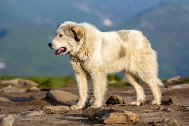 Großer weißer shaggy gewachsener kluger schäferhund, der allein auf steilem grünem grasartigem felsigem berghang steht