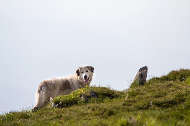 Großer weißer zotteliger gewachsener kluger schäferhund, der allein auf steilem grünem grasigem felsigem berghang an sonnigem sommertag auf kopienraum des hellen blauen klaren himmels steht.