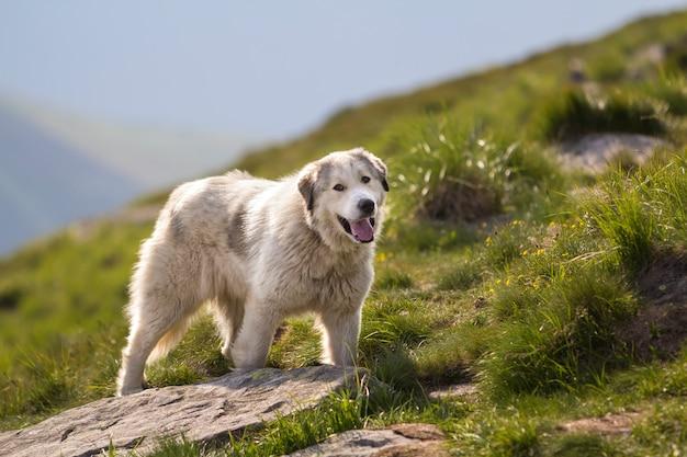 Großer weißer zotteliger gewachsener kluger schäferhund, der allein auf steilem grünem grasigem felsigem berghang an sonnigem sommertag auf kopienraumhintergrund des hellen blauen klaren himmels steht.