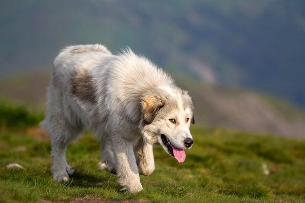 Großer weißer zotteliger gewachsener kluger schäferhund, der allein auf steiler grüner grasartiger felsiger bergwiese am sonnigen sommertag auf kopierraumhintergrund des dunkelblauen ahnungsvollen abendhimmels geht.
