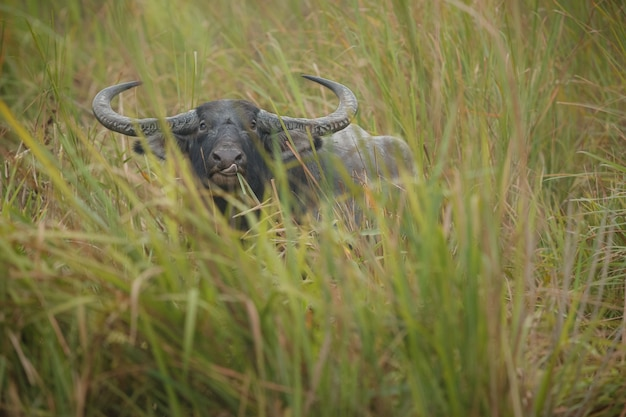 Großer wildwasserbüffel im kaziranga-nationalpark in indien