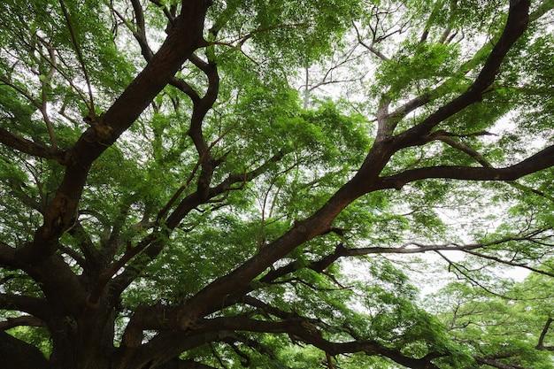 Großer zweig des riesen monky pod tree