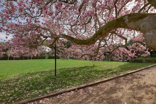 Großer zweig eines magnolienbaums voller blumen