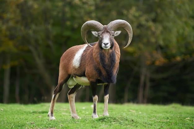 Großes europäisches mufflon im naturlebensraum