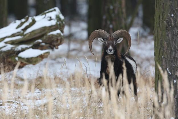 Großes europäisches mufflon im wilden waldtier im naturlebensraum tschechien