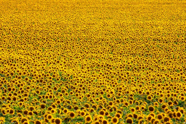 Großes feld blühender sonnenblumen im sonnenlicht. agronomie, landwirtschaft und botanik