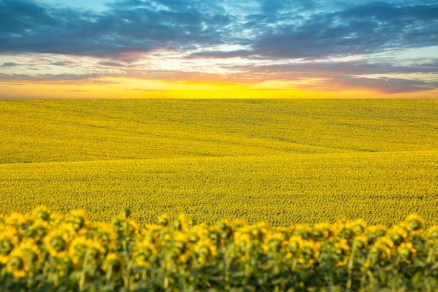 Großes feld blühender sonnenblumen vor dem hintergrund des sonnenuntergangshimmels. agronomie, landwirtschaft und botanik
