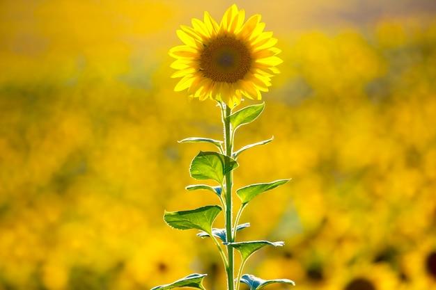 Großes feld blühender sonnenblumen.