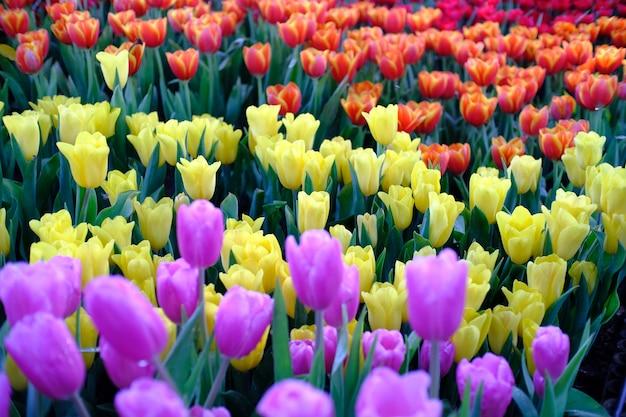 Großes feld von gelben violetten und roten tulpen im garten.