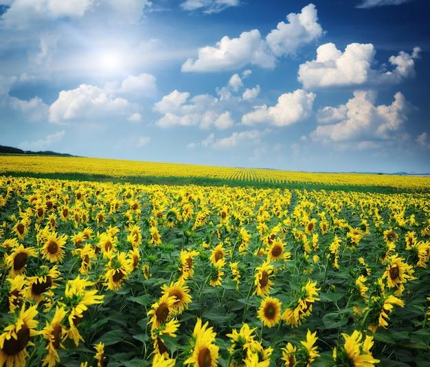 Großes feld von sonnenblumen.
