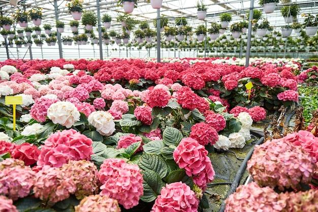 Großes gewächshaus mit bunten hortensienblüten in töpfen rundum