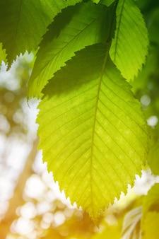 Großes grünes blatt von hinten beleuchtet durch das sonnenlicht. nahaufnahmeblatt