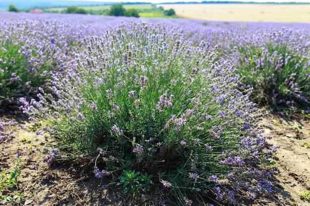 Großes helles schönes feld mit frischem lavendel, lavendelfeld