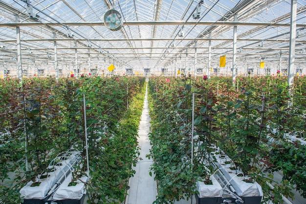Großes industriegewächshaus mit holländischen rosen, der gesamtplan