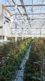 Großes industriegewächshaus mit holländischen rosen und elektrischem armaturenbrett
