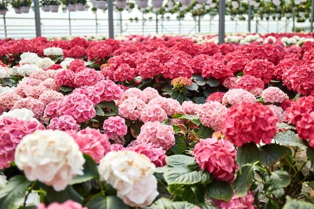 Großes industrielles gewächshaus mit bunten hortensienblumen in töpfen ringsum