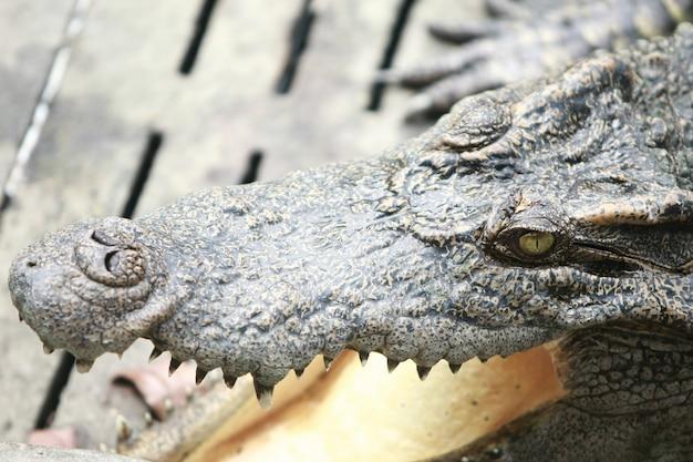 Großes krokodil auf dem bauernhof, thailand