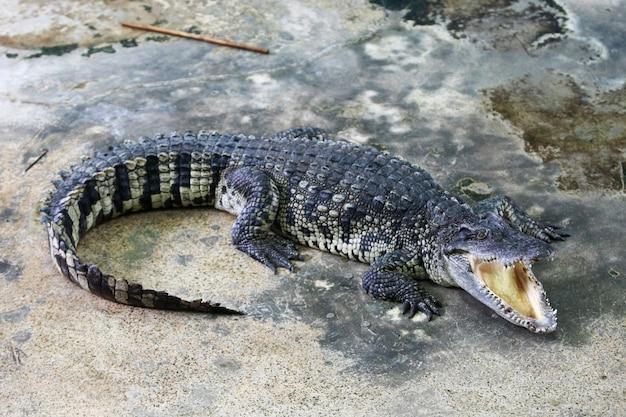Großes krokodil in der farm