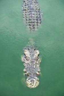 Großes krokodil in teichfarm