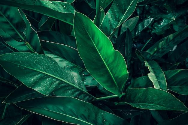 Großes laub des tropischen blattes in dunkelgrünem mit regenwassertropfenbeschaffenheit, abstrakter naturhintergrund
