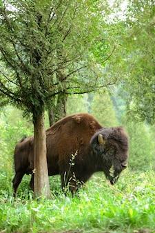 Großes männchen von bison im wald