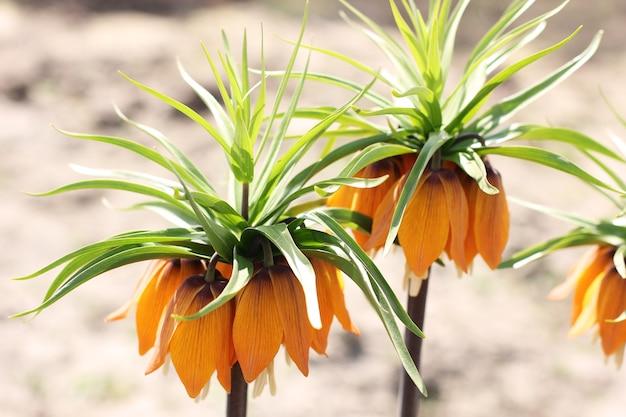 Großes orangen-haselhuhn im garten