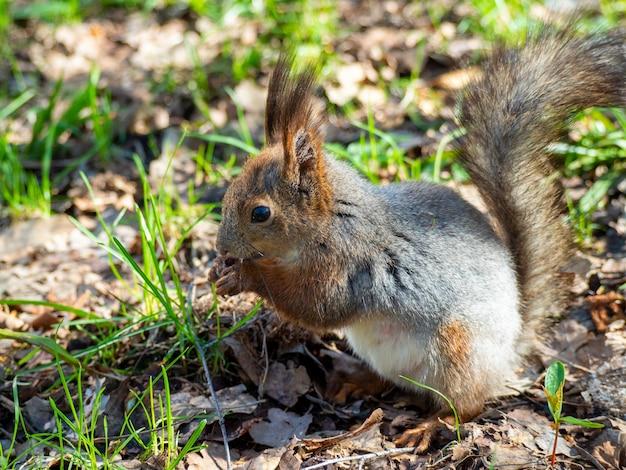 Großes porträt eines eichhörnchens, das an einem sonnigen frühlingstag auf dem grünen gras im park sitzt. nahaufnahme