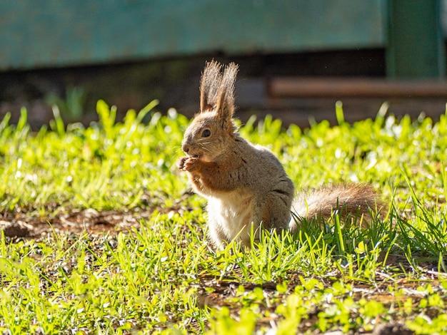 Großes porträt eines eichhörnchens, das an einem sonnigen frühlingstag auf dem grünen gras im park sitzt