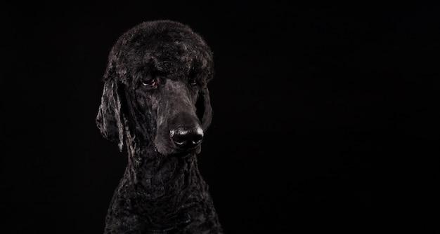 Großes porträt eines schwarzen pudels lokalisiert auf einem schwarzen hintergrund