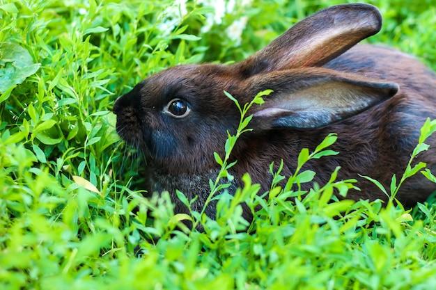 Großes schwarzes mit braunem kaninchen geht auf einem grünen rasen. großes hauskaninchen