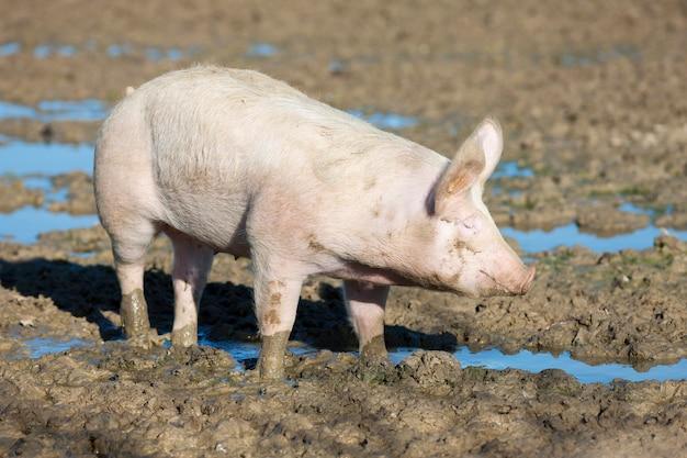 Großes schwein auf dem bauernhof