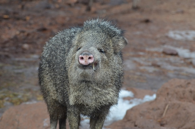 Großes speerschwein zeigt seine zwei großen zähne