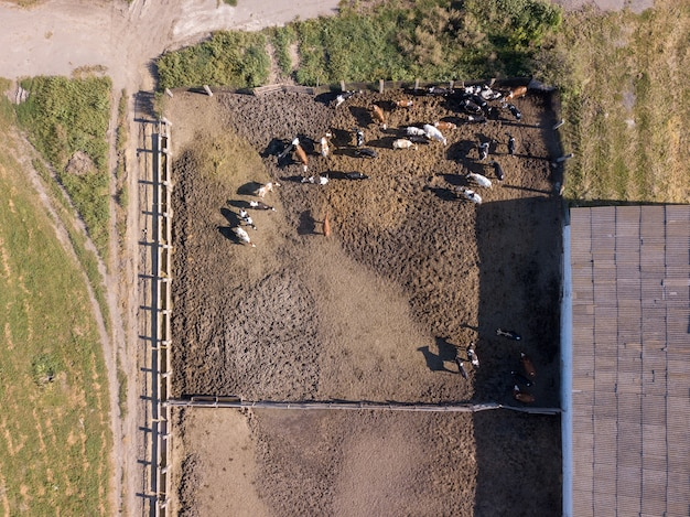 Großes vieh von kühen weidet an einem sonnigen tag auf einem landwirtschaftlichen ackerland. luftaufnahme von der drohne.