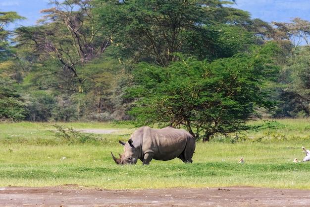 Großes weißes nashorn. nakuru seepark, afrika