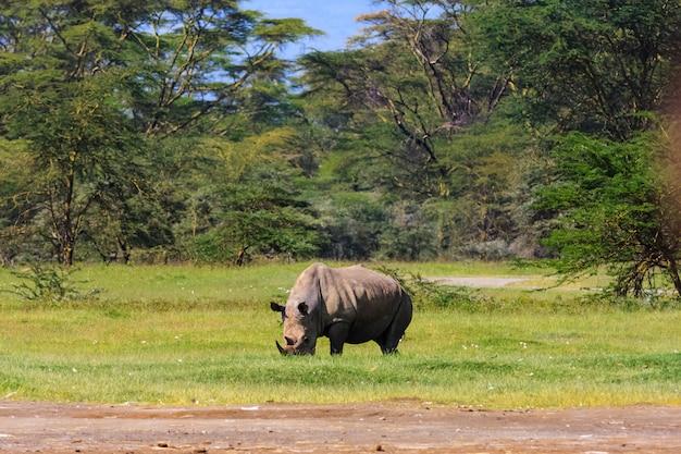 Großes weißes nashorn. nakuru seepark, kenia