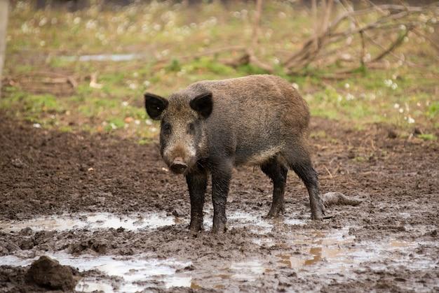 Großes wildschwein steht wachsam