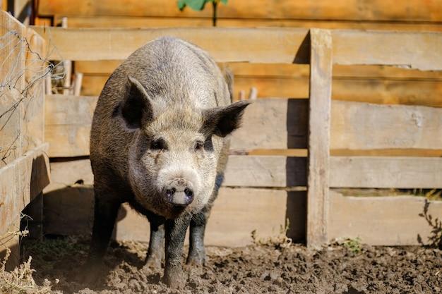 Großes wildschwein, sus scrofa, läuft in corral, holzzaunhintergrund. eber auf dem bauernhof. landwirtschaftskonzept