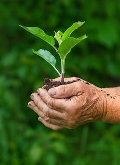 Großmutter hält einen sprössling einer pflanze in ihren händen. selektiver fokus. natur.
