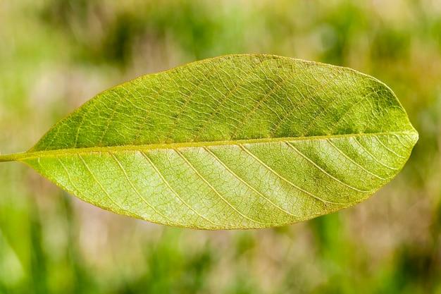 Grün der walnuss, fotografierte nahaufnahme in der frühlingssaison zu beginn des wachstums, grüne vegetation im hintergrund, fokus auf laub