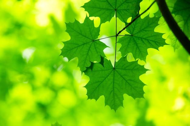 Grün hinterlässt hintergrund im sonnigen tag