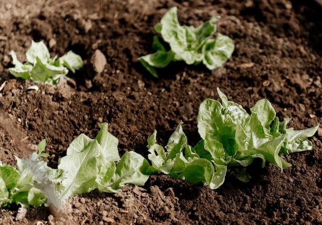 Grün im gartengewächshaus, salat, zwiebeln, radinsky, setzlinge von gemüse wachsen.